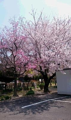 20190407教会の桜.jpg